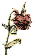 wilting rose
